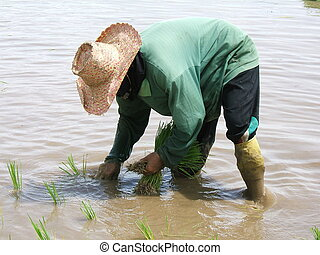 Woman at work in a rice plantation in Thailand