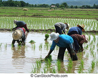 Rice plantation in Thailand - Women at work