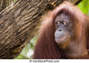 Orang Utan 2 - Orang Utan = 'Man of the Forest'