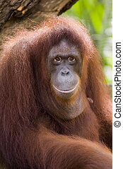 Orang Utan - A close up portrait of the king of the...