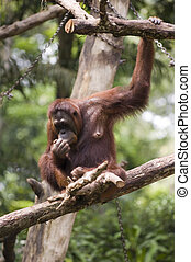 Orang Utan 3 - An orang utan in Singapore Zoo, which has the...
