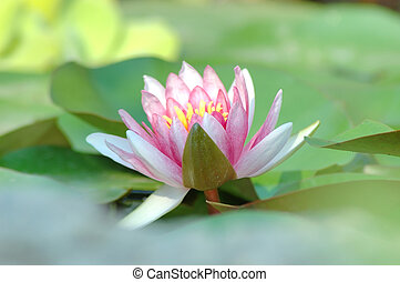 Waterlily - A beautiful soft pink waterlily floats on the...