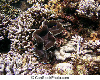 Brown Giant Clam - Presence of giant clams signifies good...