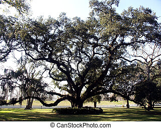 Old Oak - Old sprawling oak on plantation near New Orleans