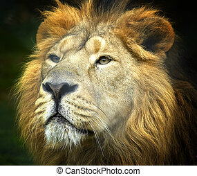 Regal - Close up portrait of a lion