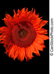 the sunflower - red sunflower