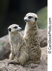 Meerkats 1 - Two meerkats act as sentries and keep a look...