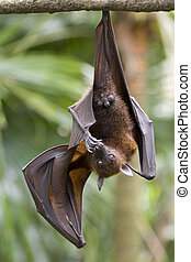 Flying Fox 2 - A fruit bat bites its toe nails
