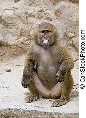 Baring Teeth - A young Hamadryas baboon bares his teeth