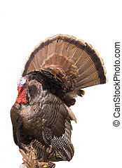 Wild Eastern Turkey - Splendid Eastern Turkey tom prepared...