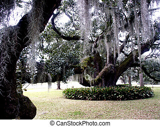 Hanging Moss - White Spanish moss hanging from old oak on...