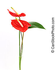 Anthurium - Two Anthurium/Flamigo flowers in a vase