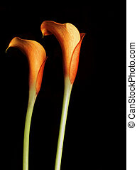 Orange Calla Lillies isolated on black Callas are also known...