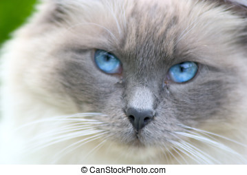 Blue eyes - Persian cat with deep blue eyes