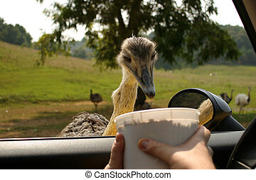 Dinner - An emu/ostrich eating from a bucket at a safari...