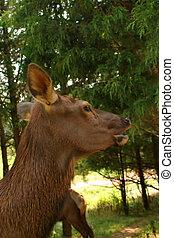 Doe A Deer - A deer in profile
