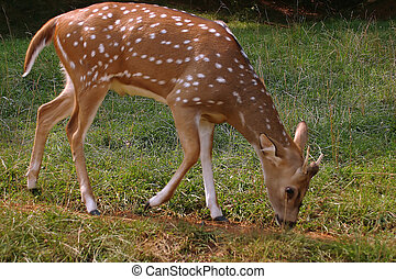 Fawn - A fawn eating grass.