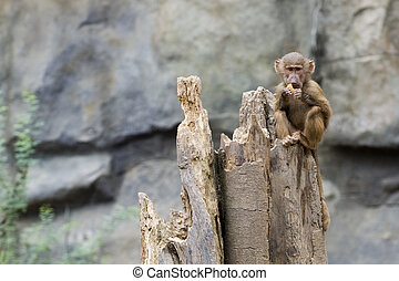 Baby Baboon - A young Hamadryas baboon eats a slice of...