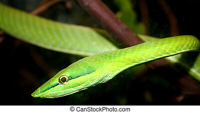 Green Tree Snake - Beautiful green tree snake on a branch at...