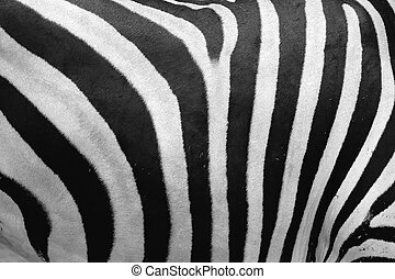 Zebra Hide - An abstract view of a zebra