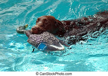 Chocolate Labrador - Photographed Chocolate Lab being...