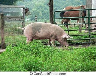 Pig 1 - Pig in Ohio