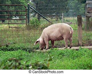 Pig 2 - Pig in Ohio
