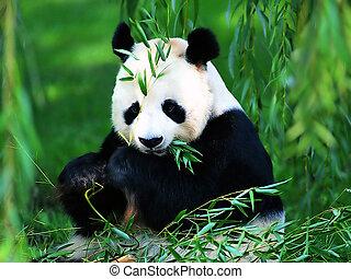 巨人, 熊貓