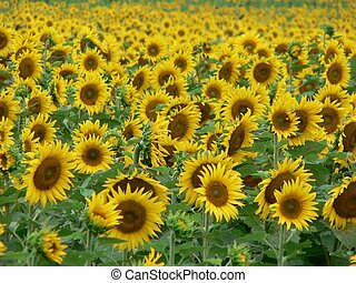 Sunflower Field 3 - Sunflower in Troy, Ohio