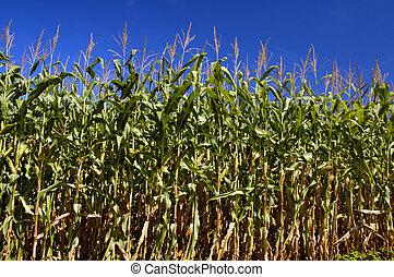 campo, de, milho