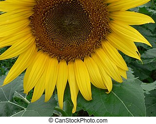 Sunflower Bottom - Sunflower in Troy, Ohio