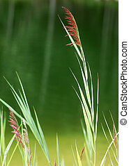 Reeds/Rushes by a lake