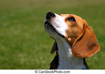 Obedient Beagle - An attentive beagle looks up at his...