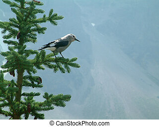 clark's nutcracker - Bird that is often seen in the Canadian...