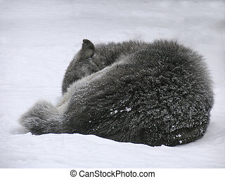 Canadian Wolf on the snow