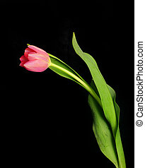 Single Tulip on black background