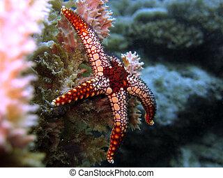 Starfish - Red starfish