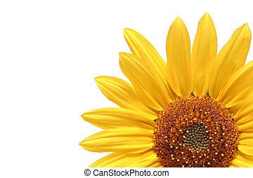 sunflower over white - sunflower macro over white
