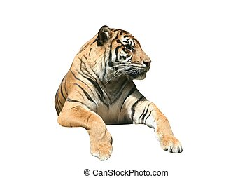 Fierce Tiger - An Isolated tiger looking off into the...