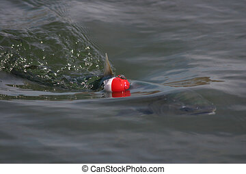 Salmon with Bobber - Silver salmon snagged and fighting line...