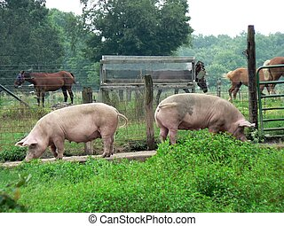 Pigs 1 - Pigs in Ohio