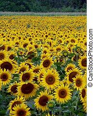 Sunflower Field 4 - Sunflower in Troy, Ohio
