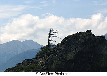 Beluga Point - A lone windswept Sitka Spruce stands guard at...