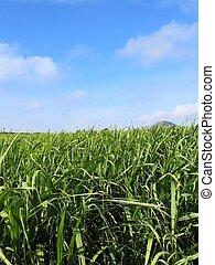 campo,  #1, bastón, azúcar