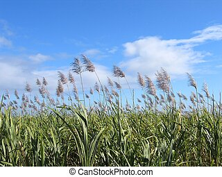 Sugar Cane Field #2 - Flowered sugar cane on a sunny day