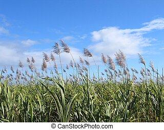 azúcar, bastón, campo, #2