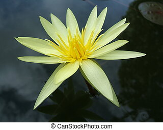 Yellow pond lily - Yellow water lily close-up