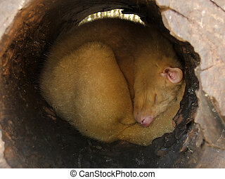 Animal - possum - Ring tailed possum curled up in a log