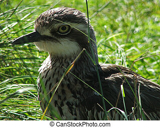 Animal - Bush Thick Knee - Bush thick knee close up on head...
