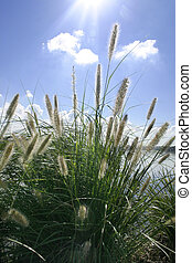 Sunbeams on ornamental grass - Ornamental grasses soak up...